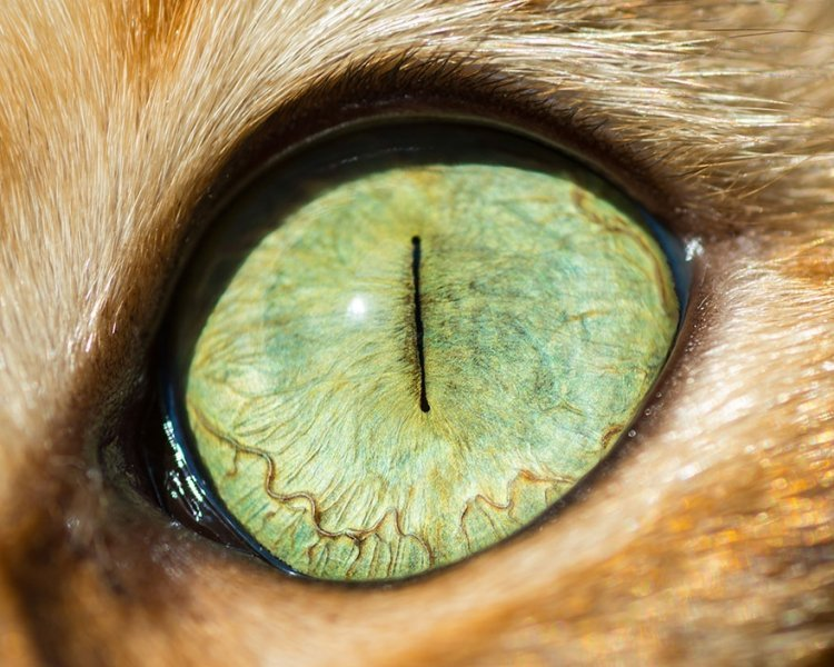 Imagini Ochii Fascinanţi Ai Pisicilor Care Ar Putea Să Vă