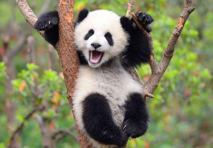 parc uriaş dedicat simpaticilor urşi panda va avea o suprafaţă de