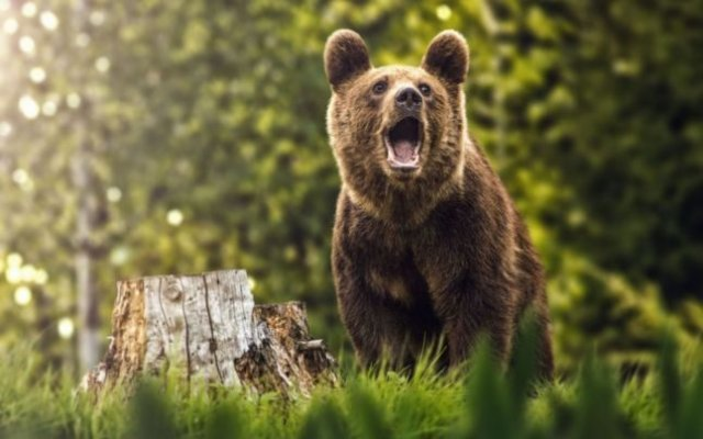 Trei bărbaţi sunt cercetaţi după ce ar fi braconat un urs, folosind o capcană