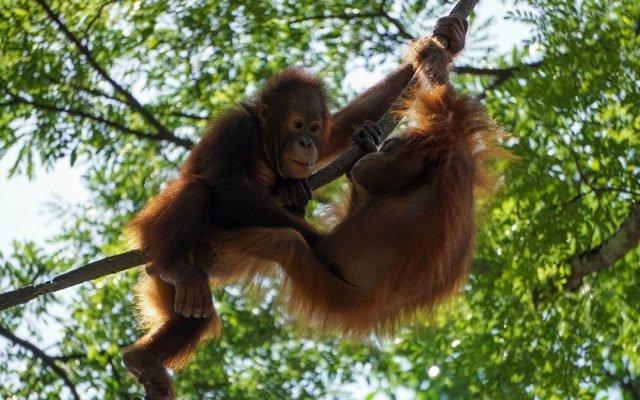Zeci de urangutani din regiunea malaeziană a insulei Borneo, testați pentru COVID