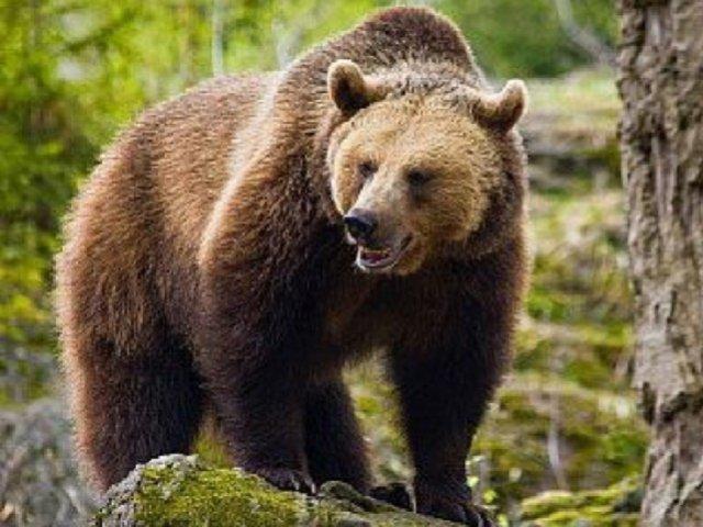 """Urșii, în vizorul ministrului Mediului. """"În primăvară luăm o decizie tranşantă"""""""