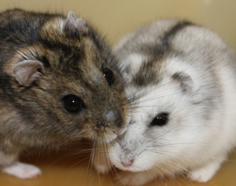 datând hamsteri