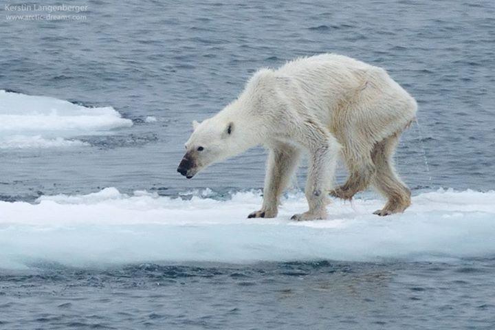 Foto Imaginea Dramatică A încălzirii Globale Un Urs Polar